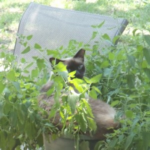 Annie in a catnip plant on the patio.