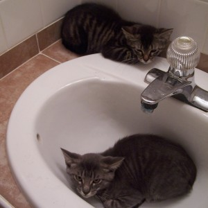 kittens in sink