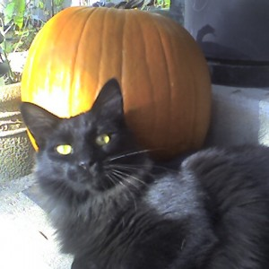 Leo a black cat with a pumpkin