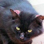 Extra, the extra black cat with sore ears