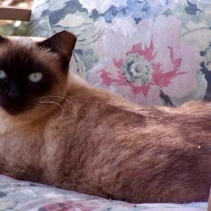 Anna a senior Siamese Feral cat