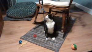 Bootsie, a pretty tuxedo kitty pet respite care guest.