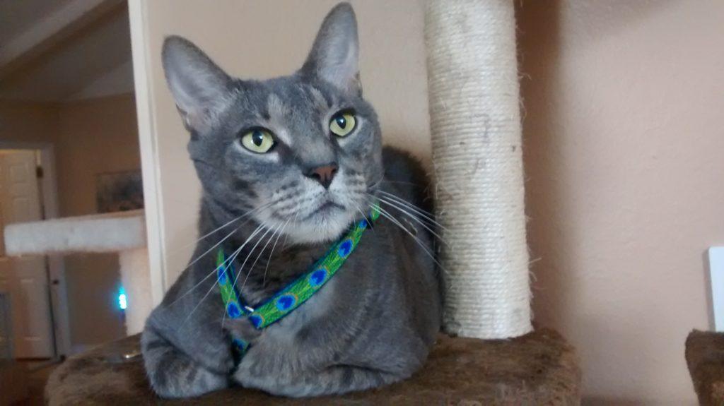 Gandolph, a senior kitty with asthma